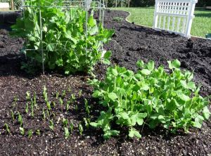 Three Months of Pea Plantings