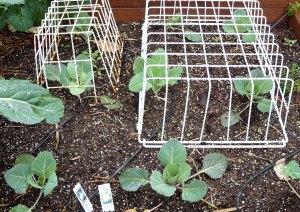 Cabbage and Califlower