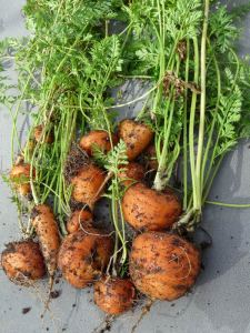 The Last of the Winter Carrots