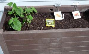 Inside Starts vs. Direct Planting