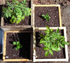 Square Foot Tomatoes and Chard