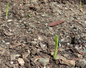 The Corn is Sprouting