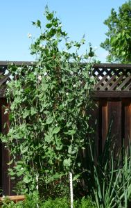 Eight Foot Tall Snap Peas