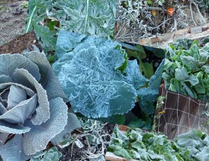 Frost on the Vegetable Garden