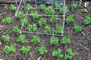 Block planted Petit Pois
