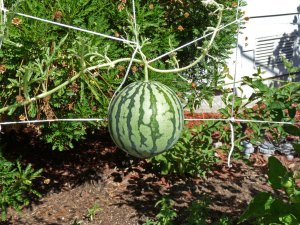 Trellised Watermelon