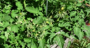 Blondkopfchen Tomato Flowers