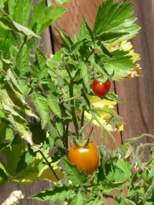 First P. Borghese Tomatoes