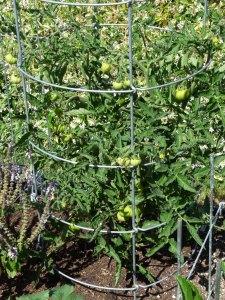 Grandma Jill's Ugly Tomato plants