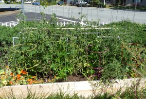 Square Foot Bed with Tomatoes, Peppers, Celery, Basil and Nasturtiums