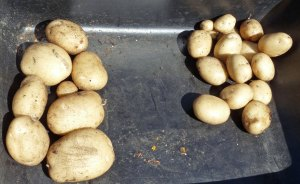 Potato Spacing Yield Test
