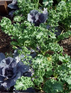 Red Acre Cabbage and Dwarf Siberian Kale