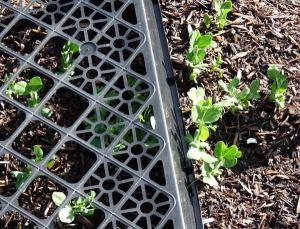 Peas under cage