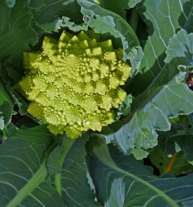 Broccoli Sprial 'Veronica'