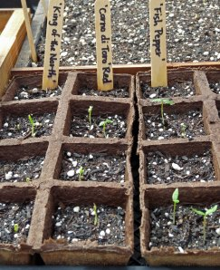 Sprouting Pepper Seeds
