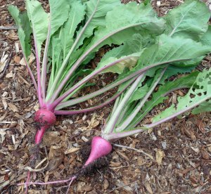 Scarlet Ohno Turnips