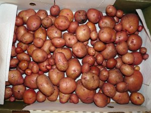 20 Lb Box of Potatoes
