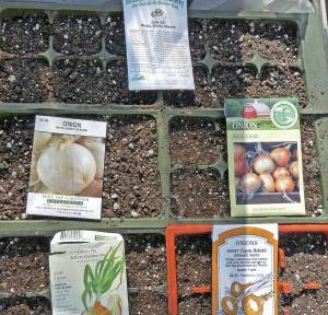 Planting onions from seed