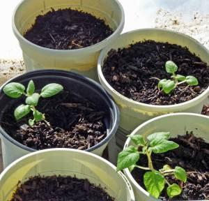TPS Potato Plants