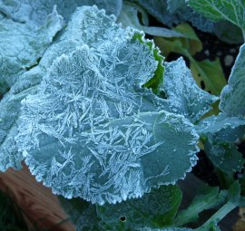 frosted-broccoli