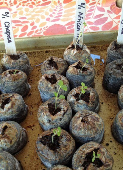The seeds were started on August 1st in peat pots under lights and watered from the bottom.