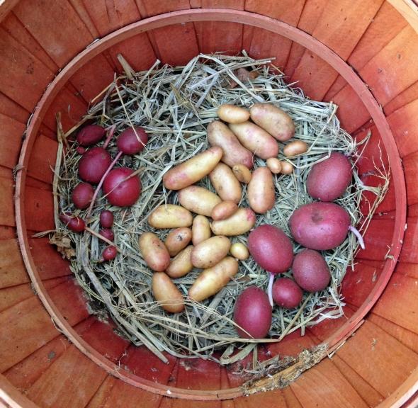 Seeking Long, Tall Potato for Breeding Experiment