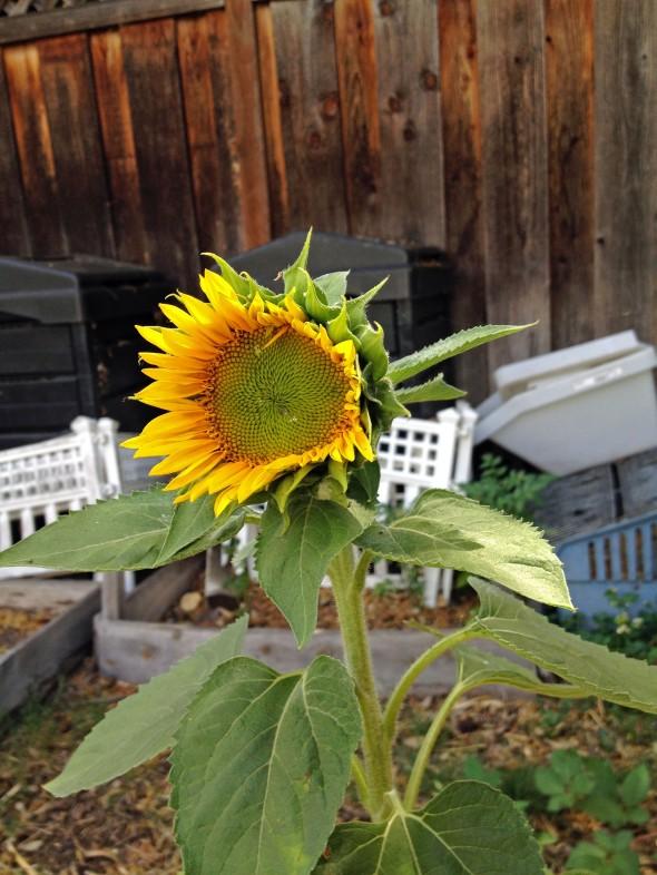 Sunflower Shorty