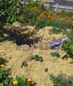 Rice straw mulch in the vegetable garden